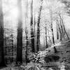 Bøkeskog i svarthvitt